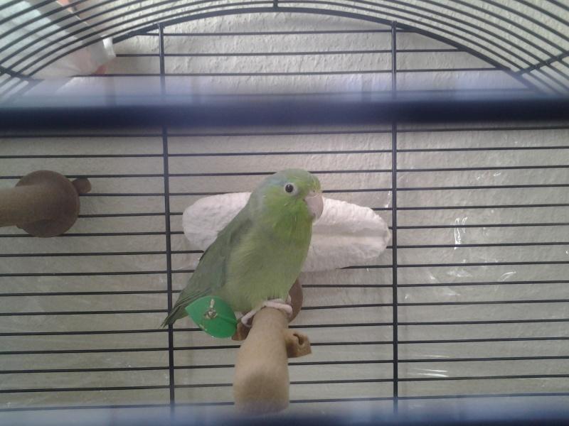 mes oiseaux  Perruc14