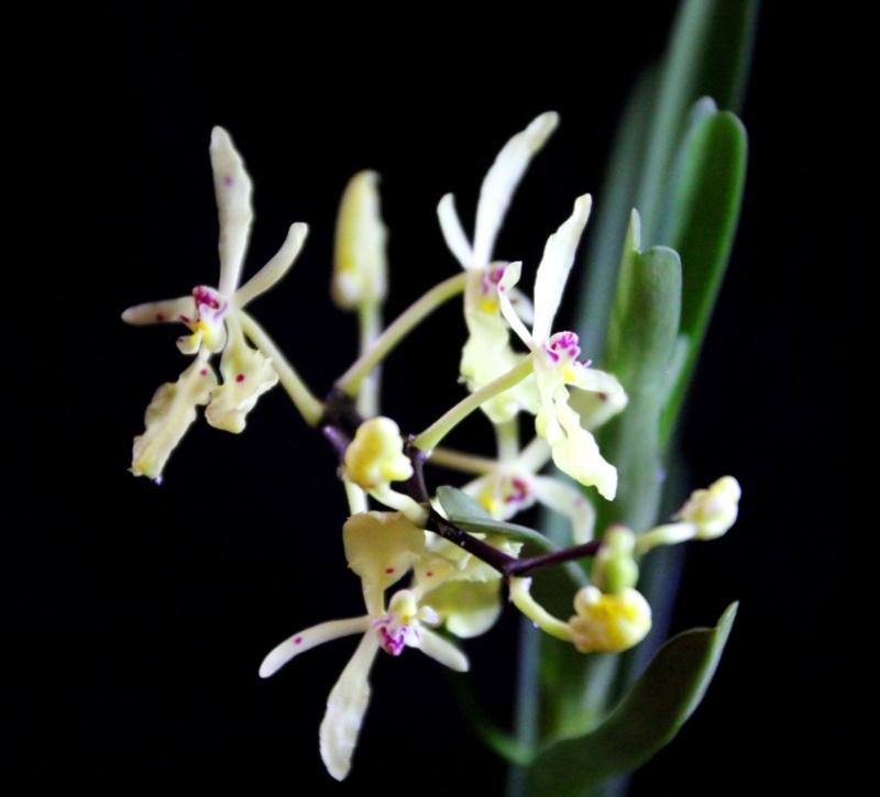 Renanthera citrina Img_0112