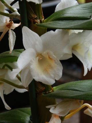Dendrobium nobile - Page 2 P4060010