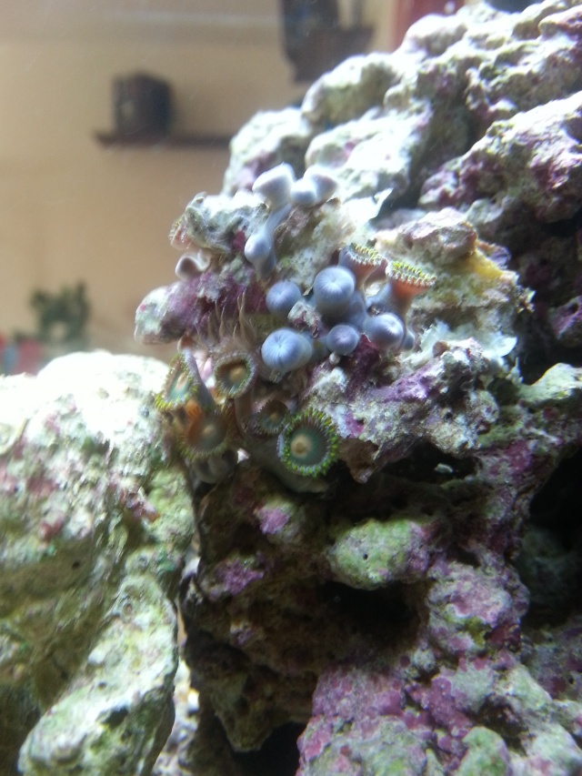 Le crabe au pince d'or 20140313