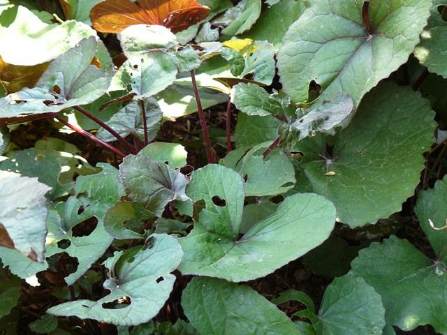 Farfugium japonicum (= Ligularia kaempferi) - Page 3 P1000611