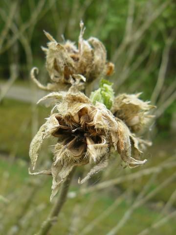 Hibiscus sinosyriacus, Nyssa sinensis, Acer crataegifolium 'Veitchii' [devinette] - Page 3 P1110710