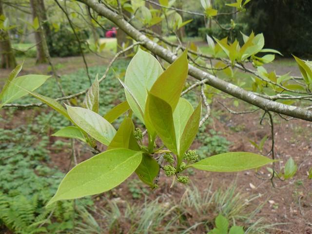 Hibiscus sinosyriacus, Nyssa sinensis, Acer crataegifolium 'Veitchii' [devinette] P1110811