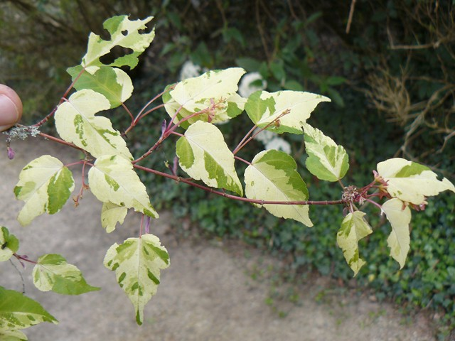 Hibiscus sinosyriacus, Nyssa sinensis, Acer crataegifolium 'Veitchii' [devinette] P1110812