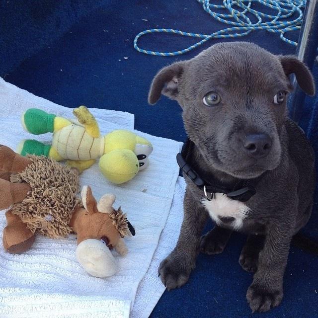 Indi - Blue Staffy pup Image17