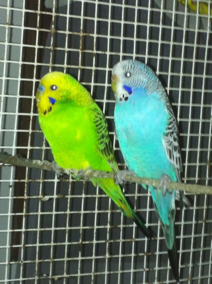 Bonjour à tous : Nouvelle passionnée des perruches ondulées  54873613