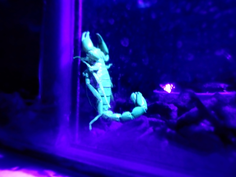 Scorpions From Chile :) Sam_2210