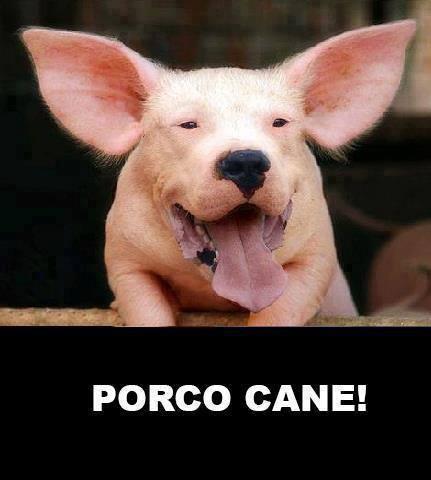 Risate bestiali Porcoc10