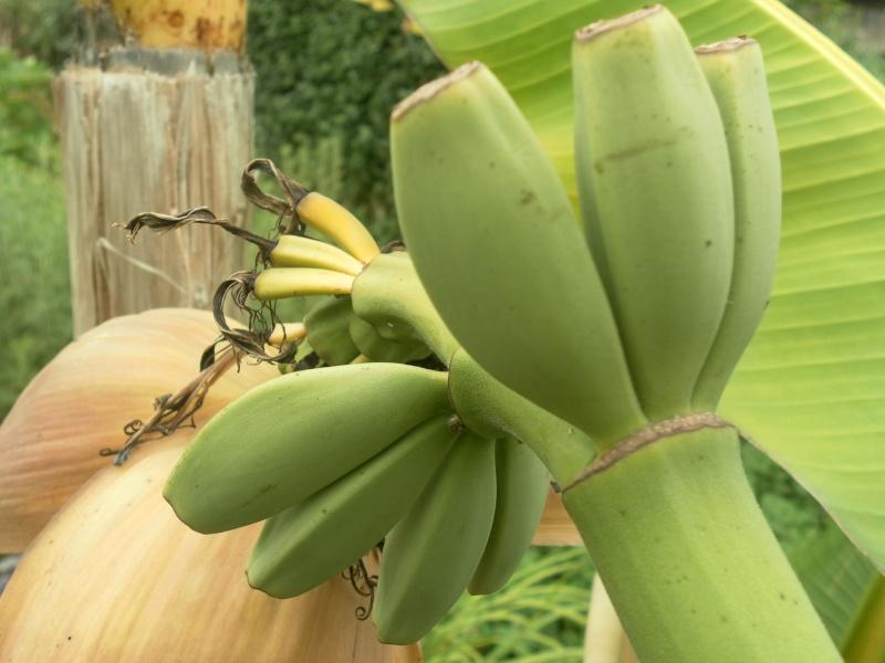 Bananengewächse (Musaceae) - Seite 3 Sam_0614