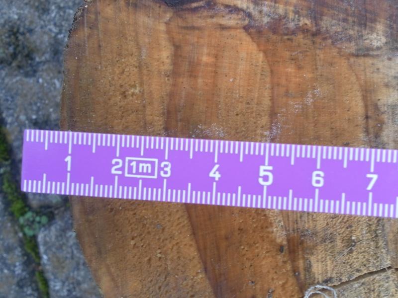 Mammutbäume: Sequoia, Sequoiadendron, Metasequoia Sam_0811