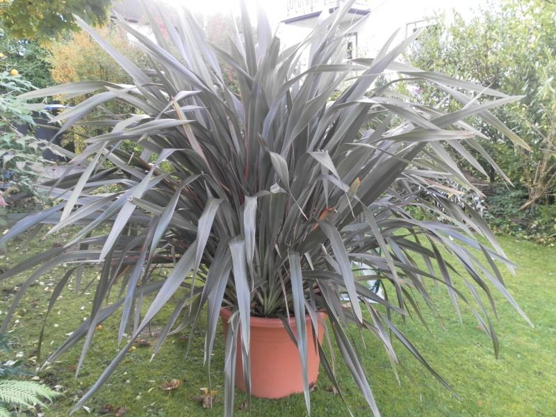 Phormium tenax - Neuseeländer Flachs Sam_0814
