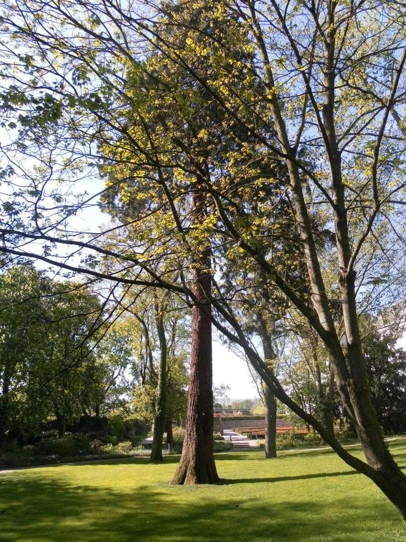 Mammutbäume: Sequoia, Sequoiadendron, Metasequoia Sam_1613