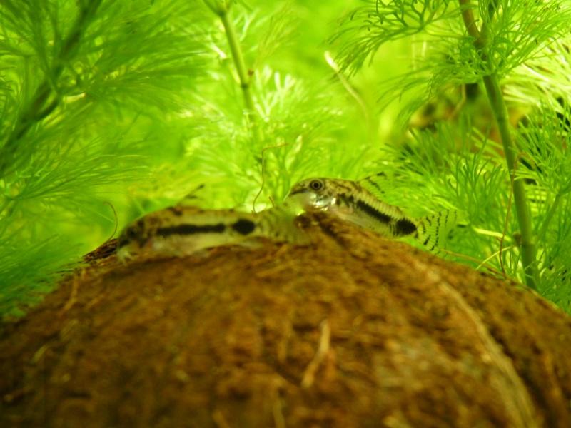 Présentation de mon aquarium P1050010