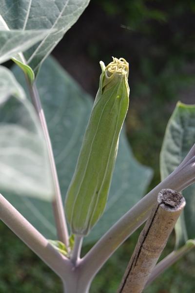 Les plantes toxiques. 004_8017