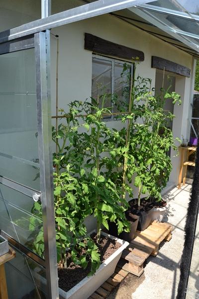 Les tomates... 005_8019