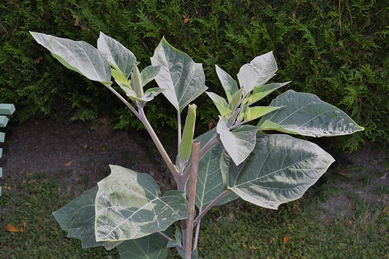 Les plantes toxiques. 005_8022