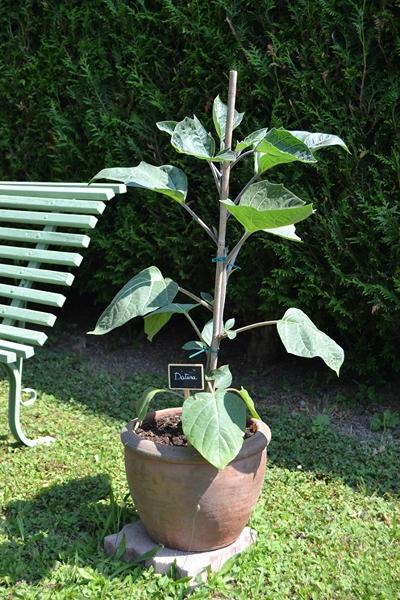 Les plantes en pots au jardin. 008_8012