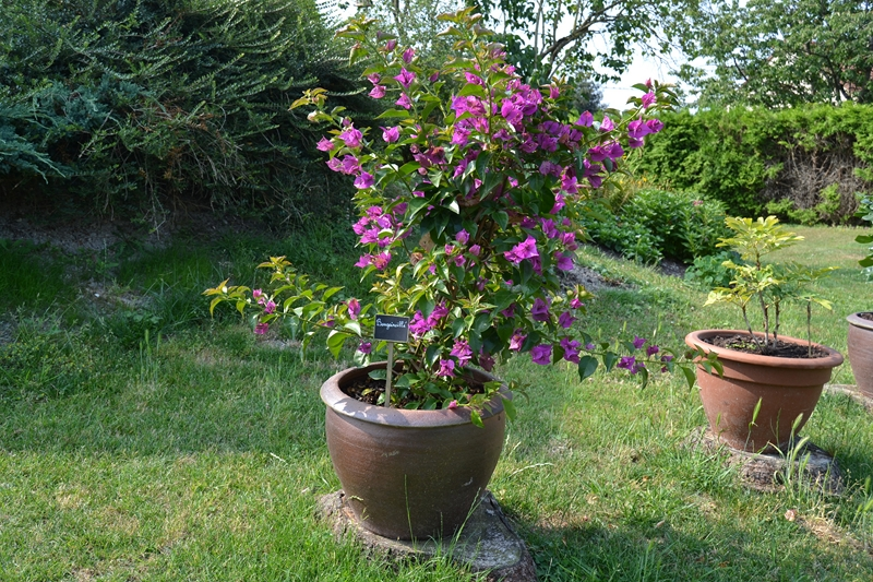 Les plantes en pots au jardin. 010_8017