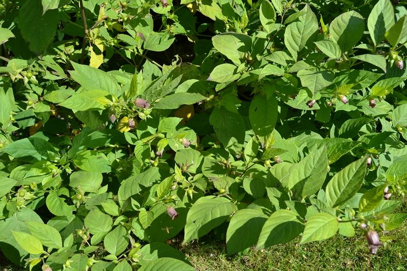 Les plantes toxiques. 027_8011