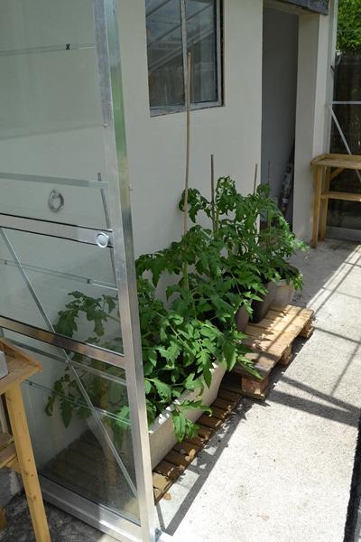 Les tomates... 097_8010