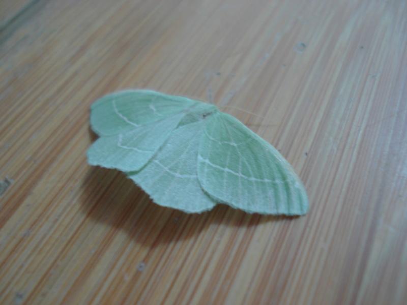 Papillons Dsc04522