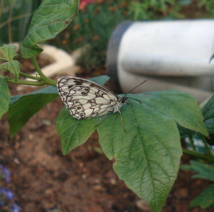 Papillons Dsc04614