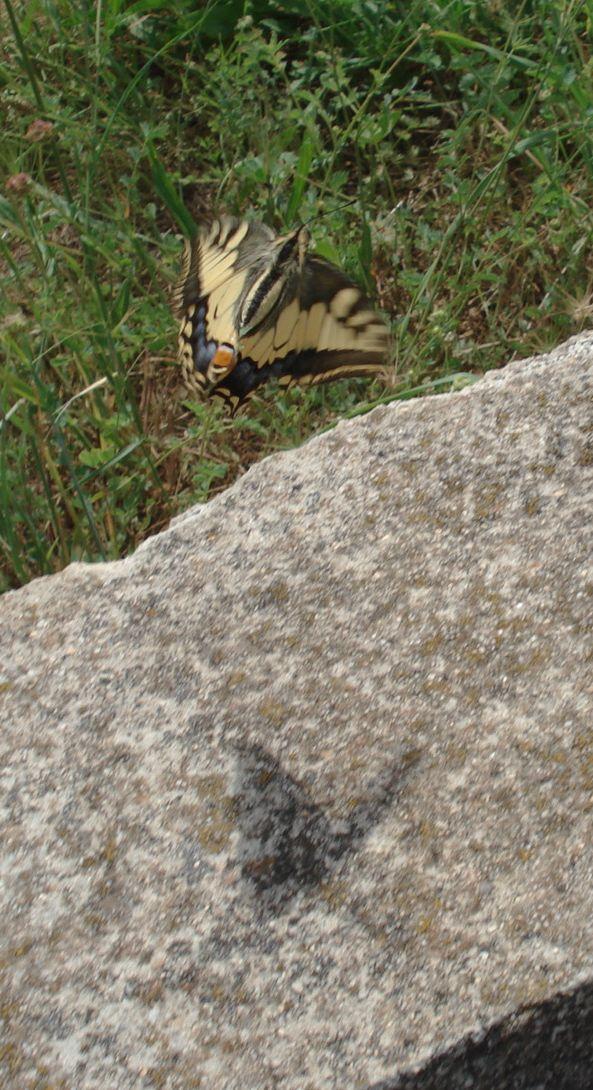 Papillons Dsc04616
