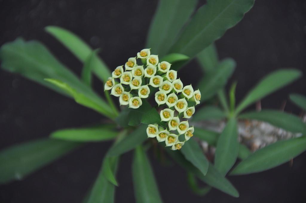 Euphorbia capuronii Dsc_0012