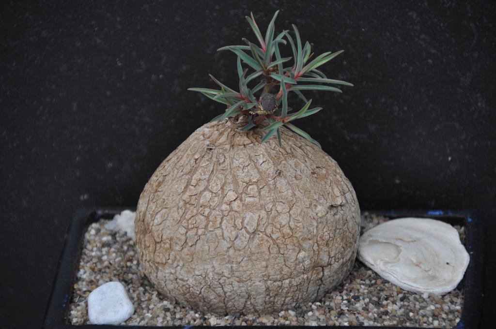 Euphorbia trichadenia - Page 2 Dsc_0022