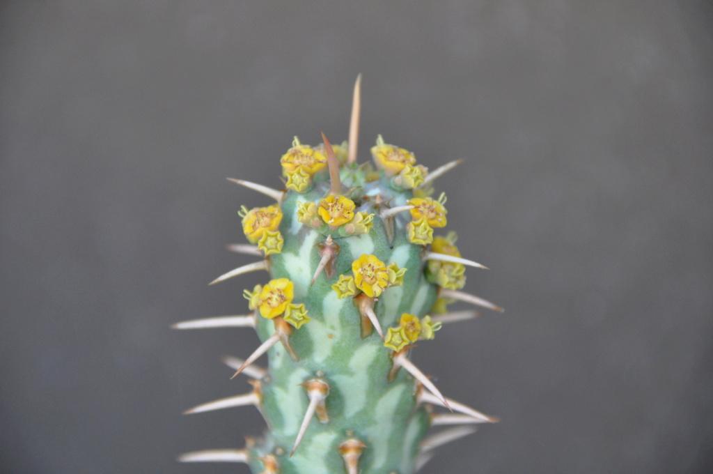 Euphorbia erigavoensis Dsc_0034