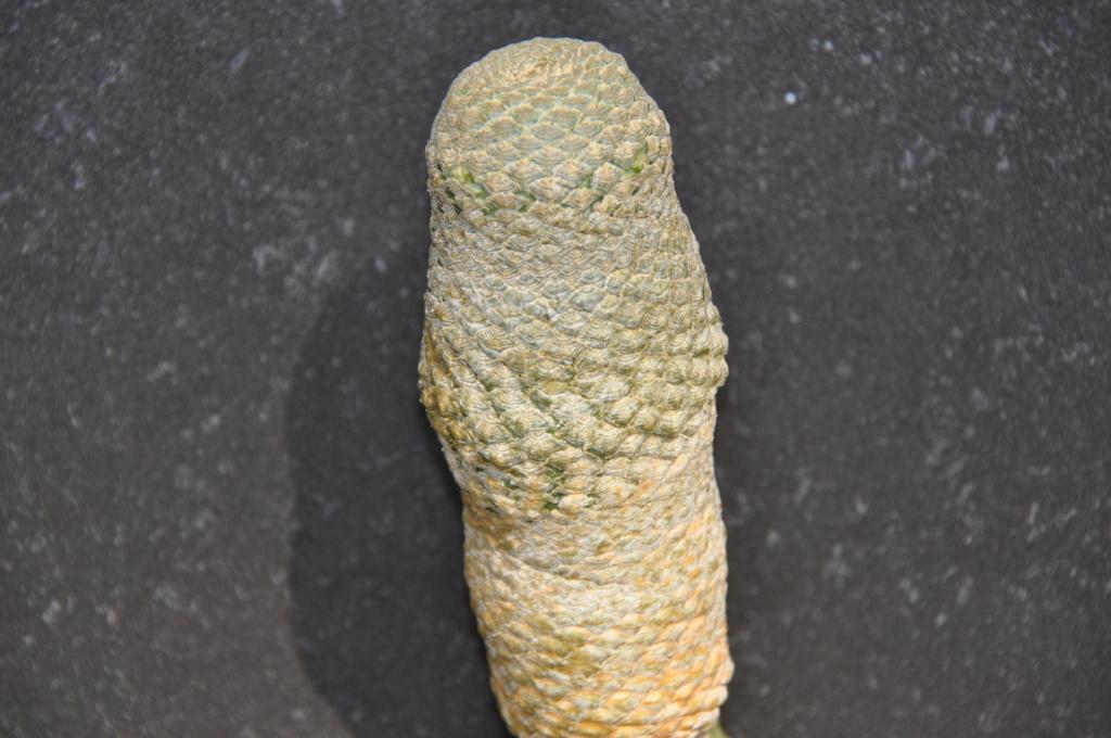Euphorbia piscidermis Dsc_0038
