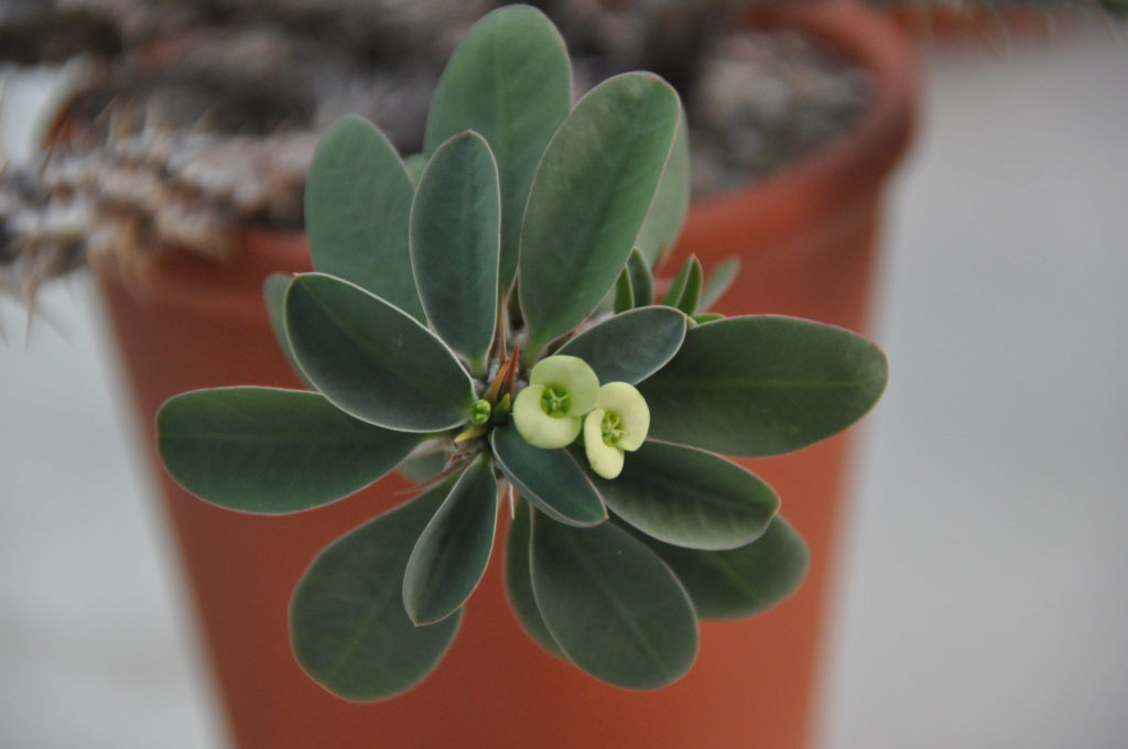 Euphorbia fianarantsoa Dsc_0040