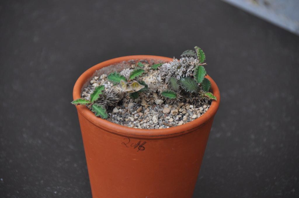 Euphorbia decaryi var.durispina Dsc_0042
