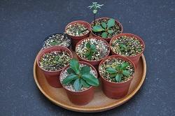 Euphorbia ramena - Page 4 Dsc_0043