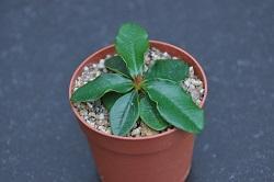 Euphorbia ramena - Page 4 Dsc_0044