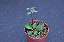 Euphorbia ramena - Page 4 Dsc_0046