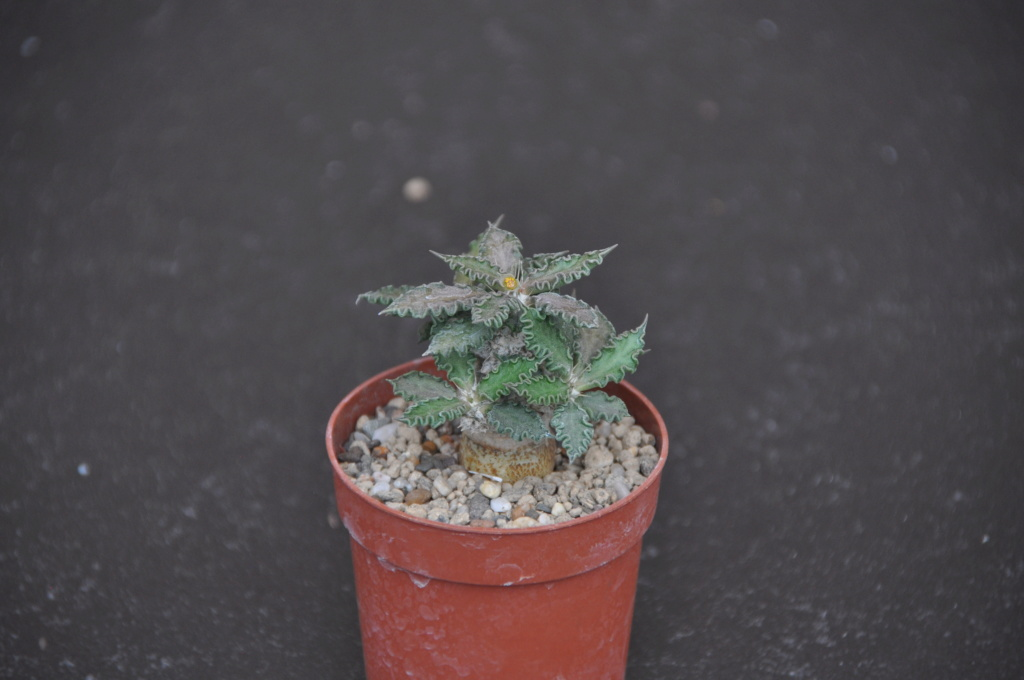 Euphorbia tulearensis Dsc_0053