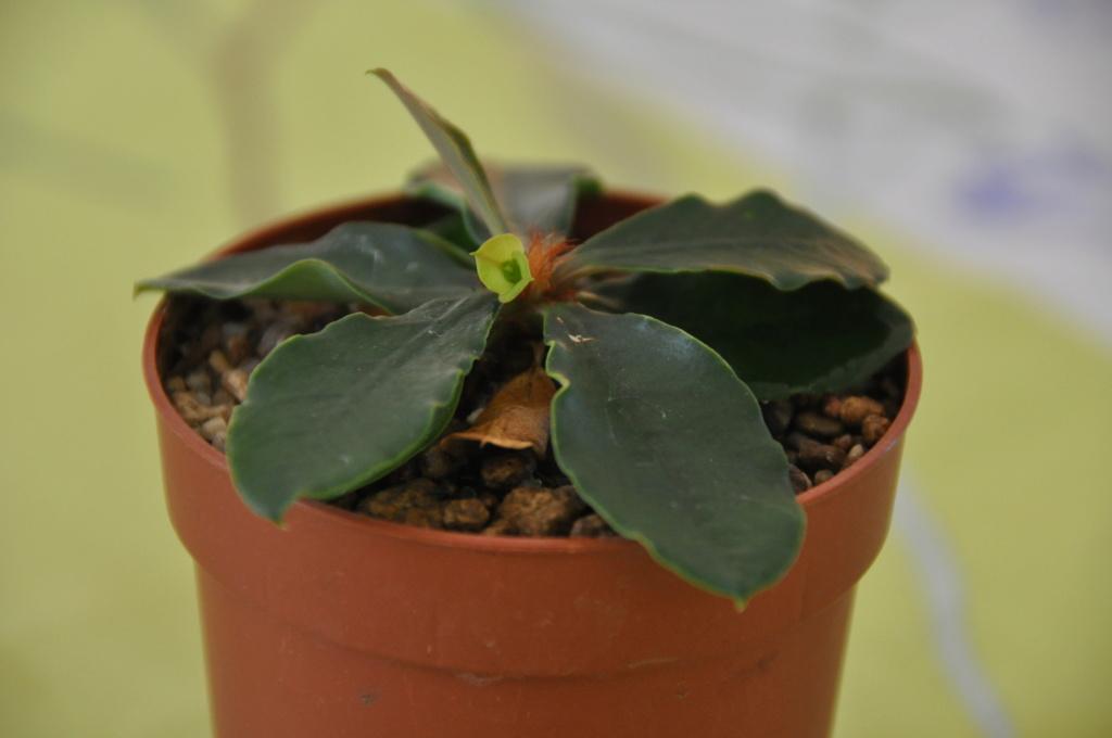 Euphorbia ramena - Page 4 Dsc_0054