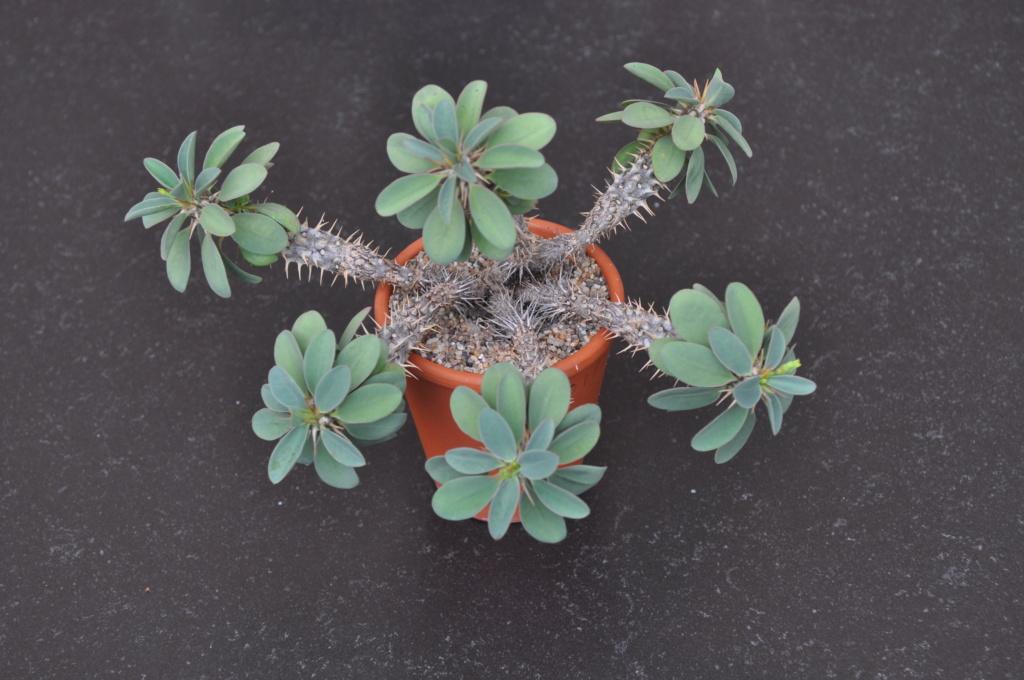 Euphorbia fianarantsoa Dsc_0110
