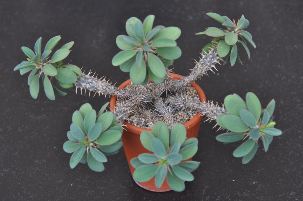 Euphorbia fianarantsoa Dsc_0111