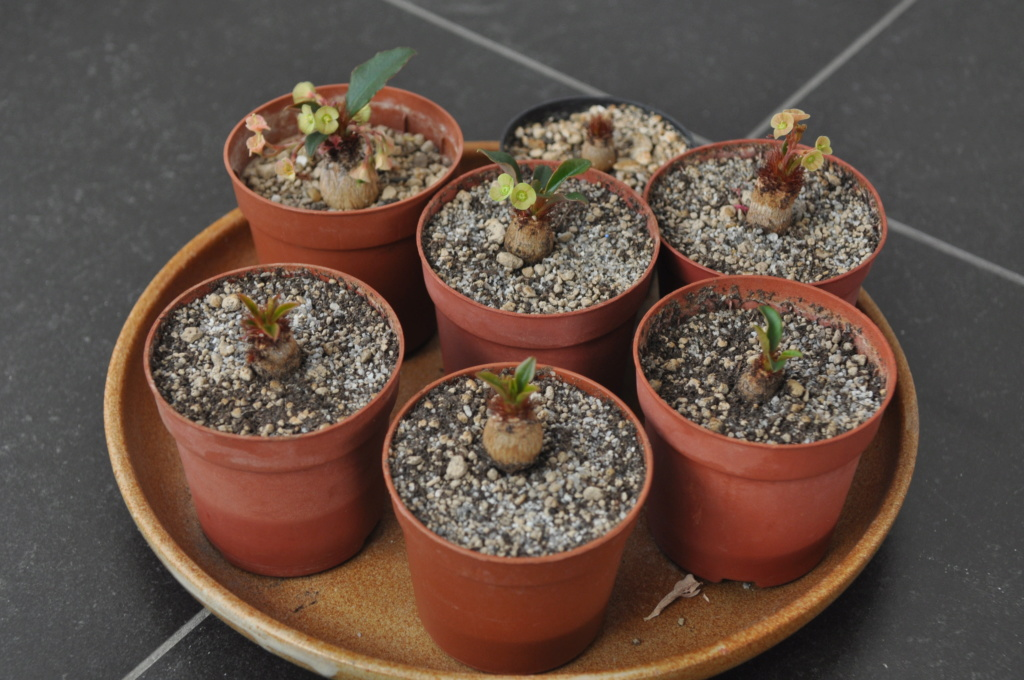 Euphorbia ramena - Page 6 Dsc_0141