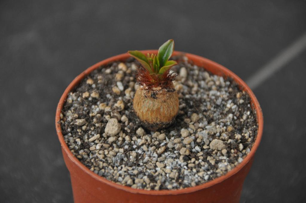 Euphorbia ramena - Page 6 Dsc_0142