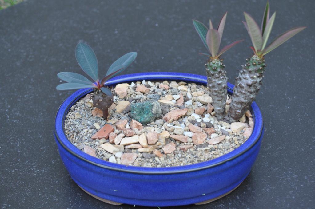 Euphorbia pachypodioides - Page 4 Dsc_0219