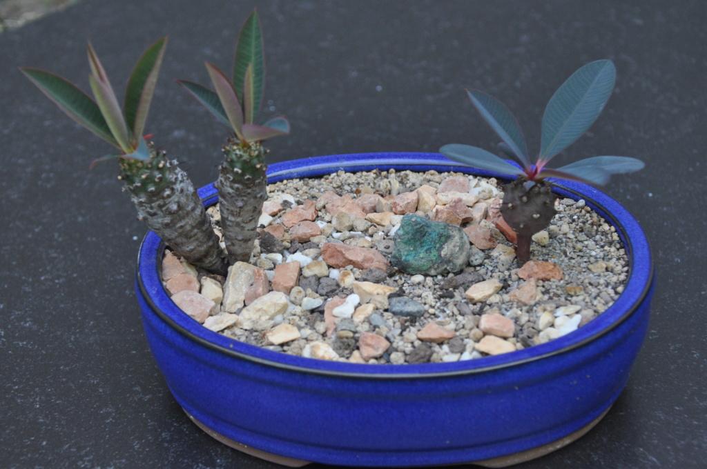 Euphorbia pachypodioides - Page 4 Dsc_0221