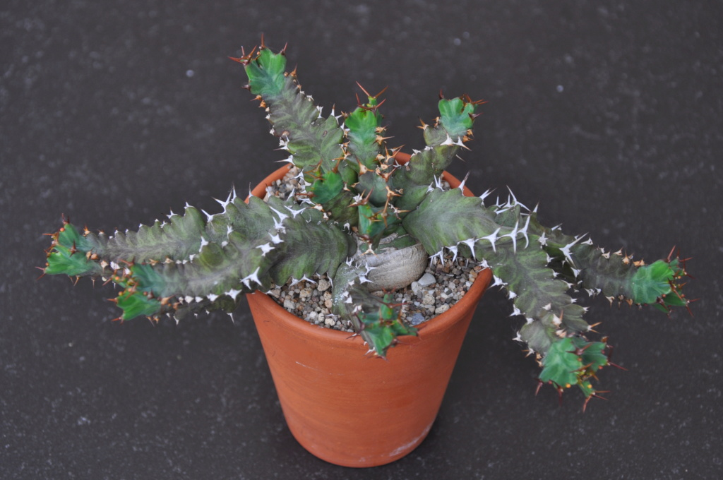 Euphorbia umfoloziensis Dsc_0310