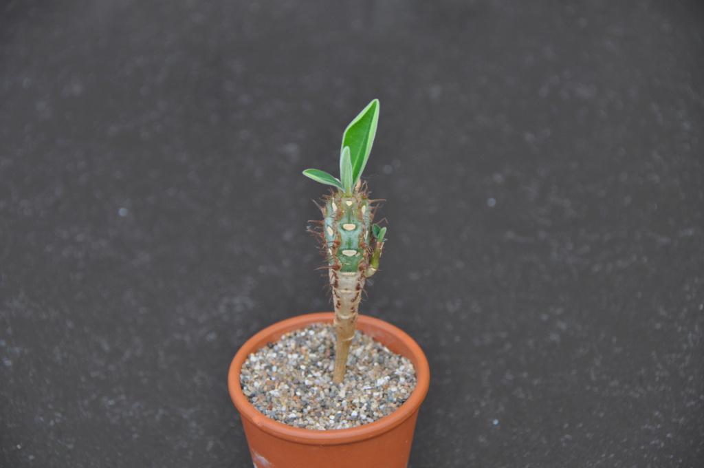 Euporbia caput-aureum Dsc_0311