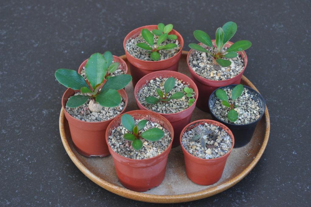 Euphorbia ramena - Page 6 Dsc_0314