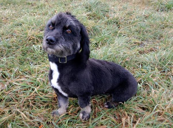 MACY gentille petite chienne en quête d'affection  -  prise en charge SPA PONTARLIER 80378510