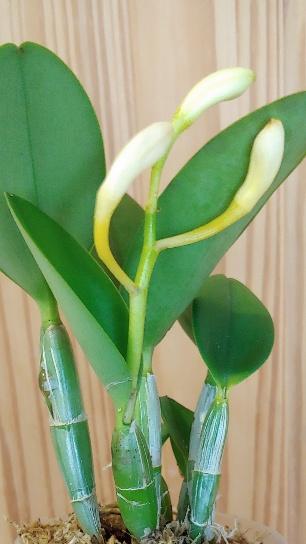 Orchidées + succulentes + autres. Chez Ola, saison 2.  20190447