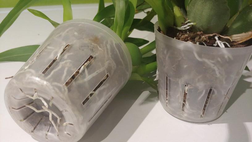 Orchidées + succulentes + autres. Chez Ola, saison 2.  - Page 3 20200110